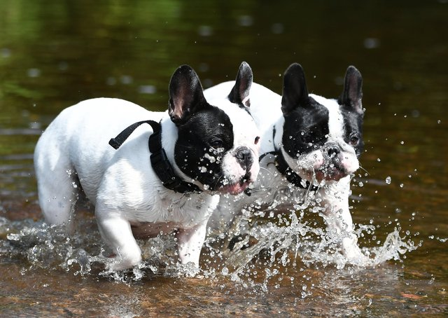 Two French Bull Dogs cool down in the White Cart Water, Glasgow. Photo: John Devlin