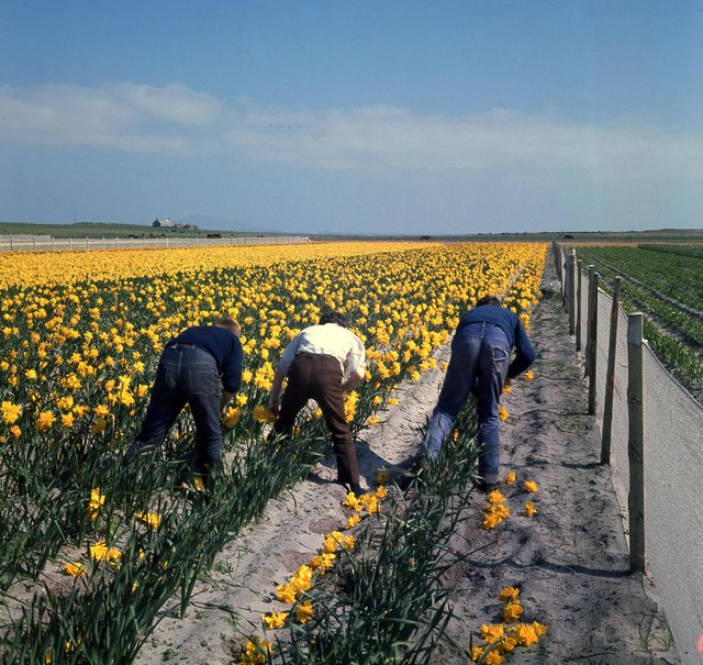 Daffodil pickers at work during the bulb project trials in North Uist